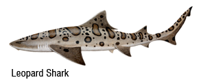 Leopard Shark Fishing San Francisco
