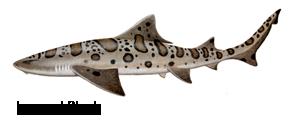 Leopard Shark Fishing San Francisco