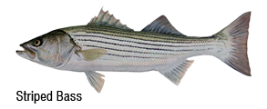 Striped Bass Fishing San Francisco