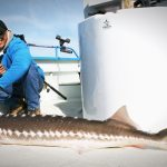 Sturgeon Fishing Charters on San Francisco Bay