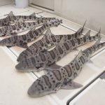 Guided Leopard Shark Fishing Charter on San Francisco Bay