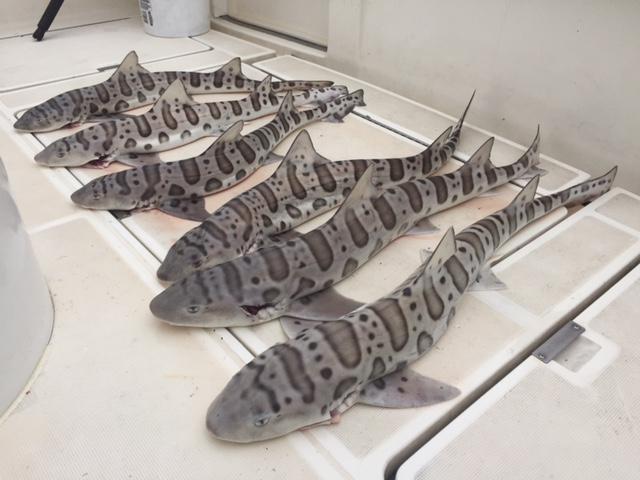 Guided Leopard Shark Fishing Charter on San Francisco Bay